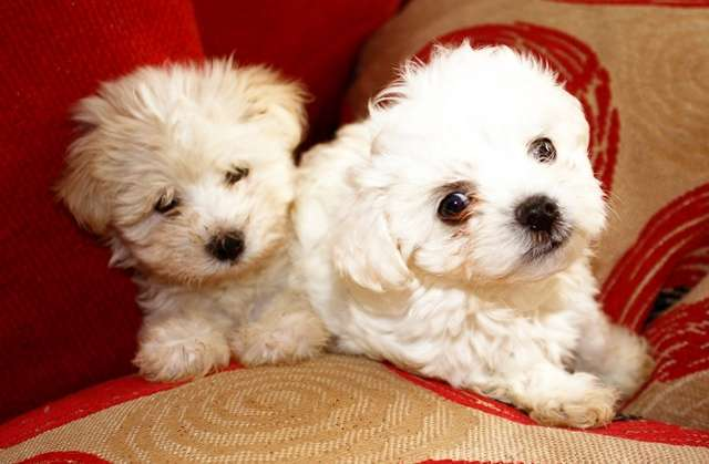 Training and Grooming Maltese Dogs